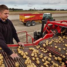 aardappelrooien in Firdgum