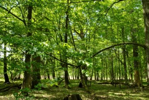 Ooit groeiden er enorme eiken en linden in Noord-Nederland. Het laatste restant van dit Atlantische woud is te vinden in Oost-Polen: Bialowiesa (foto Jeroen Zomer).